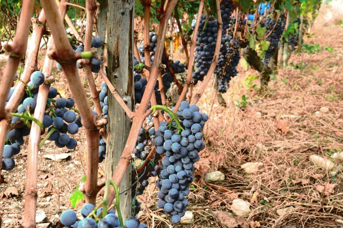 """Fino al 31 marzo potranno essere presentate, sul """"Sian"""", le domande per le autorizzazioni di nuovi impianti viticoli in Valle d'Aosta"""